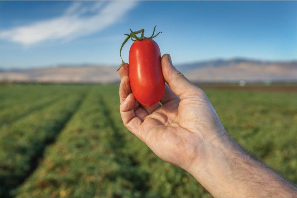 Hand holding tomato in field